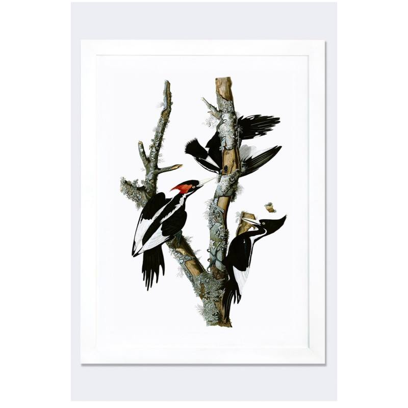 'Ivory Billed Woodpecker' Framed Fine Art Print